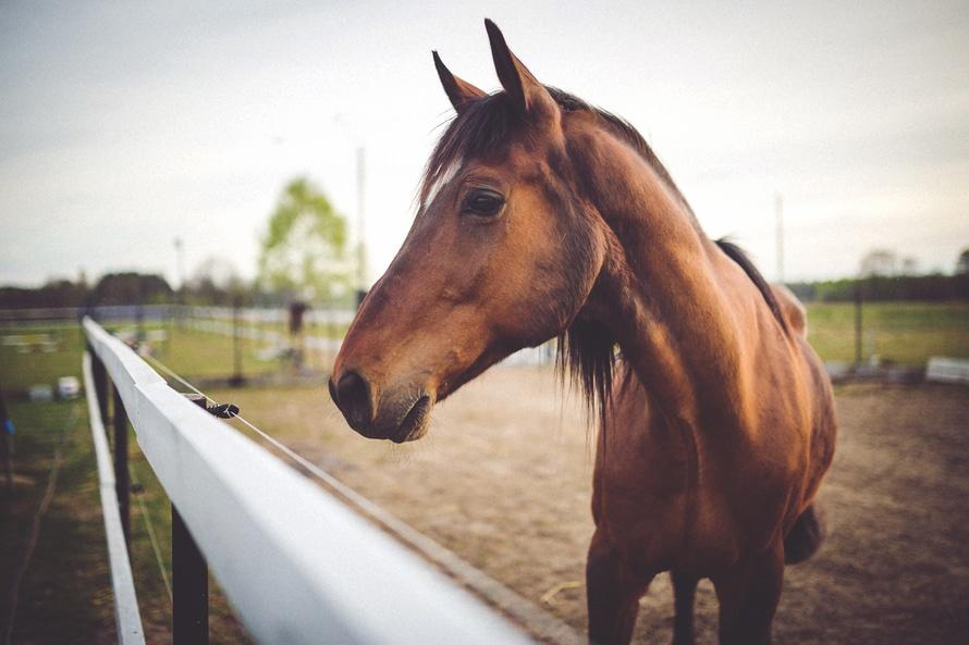 animal-brown-horse-large[1]